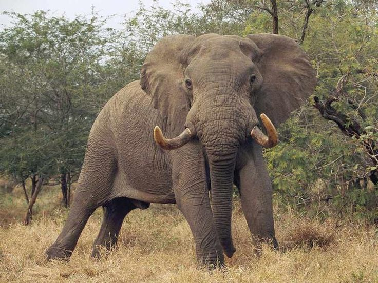 BULL ELEPHANT STANDS HIS GROUND