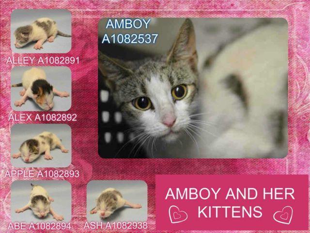 AMBOY A1082537 & KITTENS A1082891, A1082892, A1082893