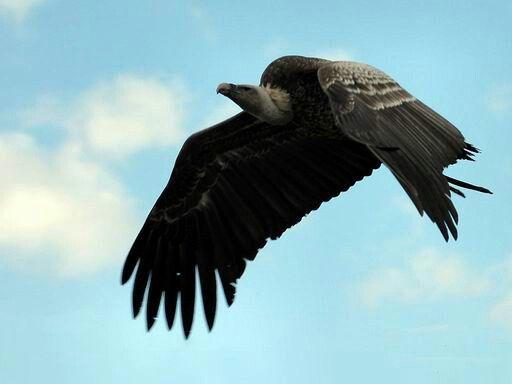 Buitre Negro en vuelo