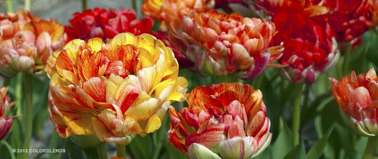 Tulip Moris Gudanov | Tulip Bulbs for Sale | COLORBLENDS