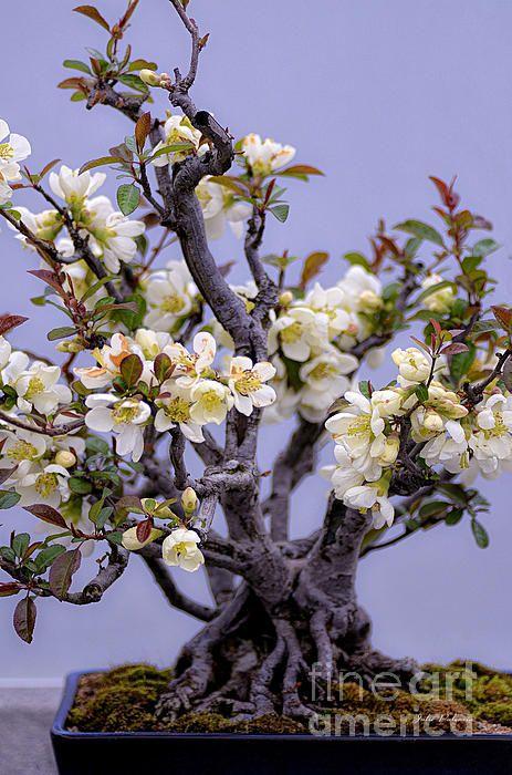 Bonsai - Japanese Flowering