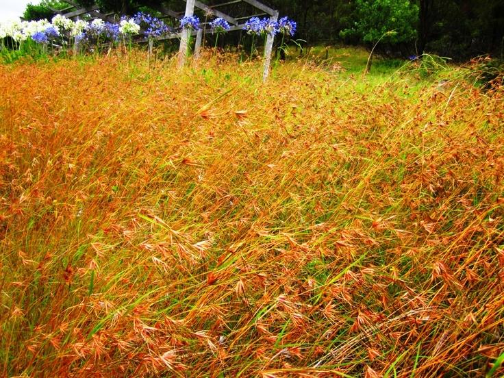"""The Drip"" Mudgee: January 2012 - kangaroo grass"