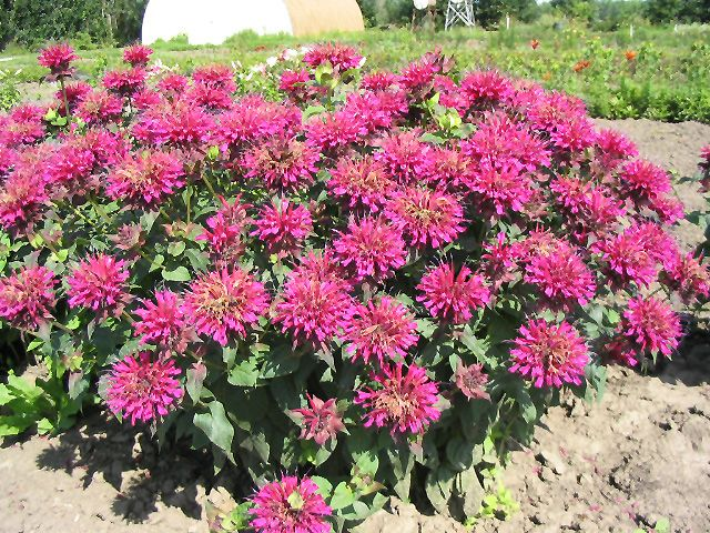 Grand Marshall Beebalm (Monarda 'Grand Marshall') at Stein Gardens & Gifts