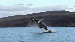 Whale Skye Scotland Wildlife