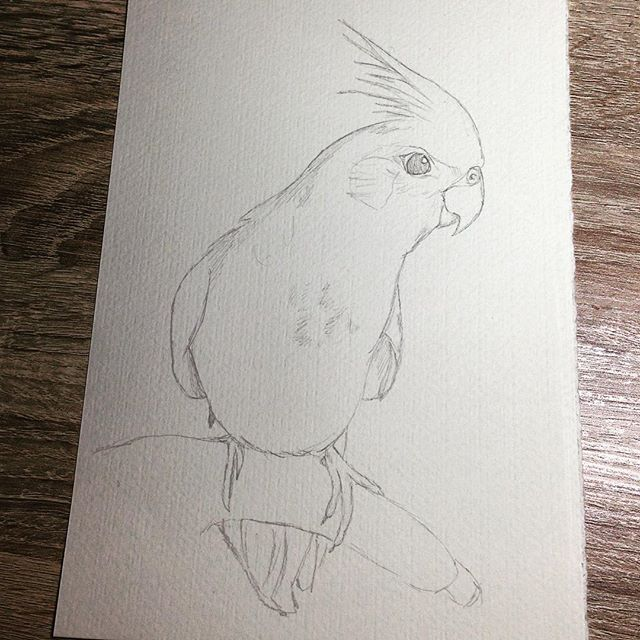 Cockatiel sketch Instagram dayna.bar