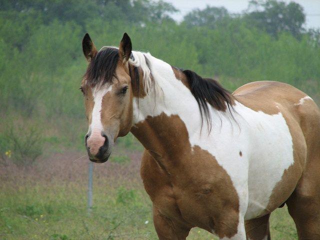 Horse / Buckskin Tobiano Stallion
