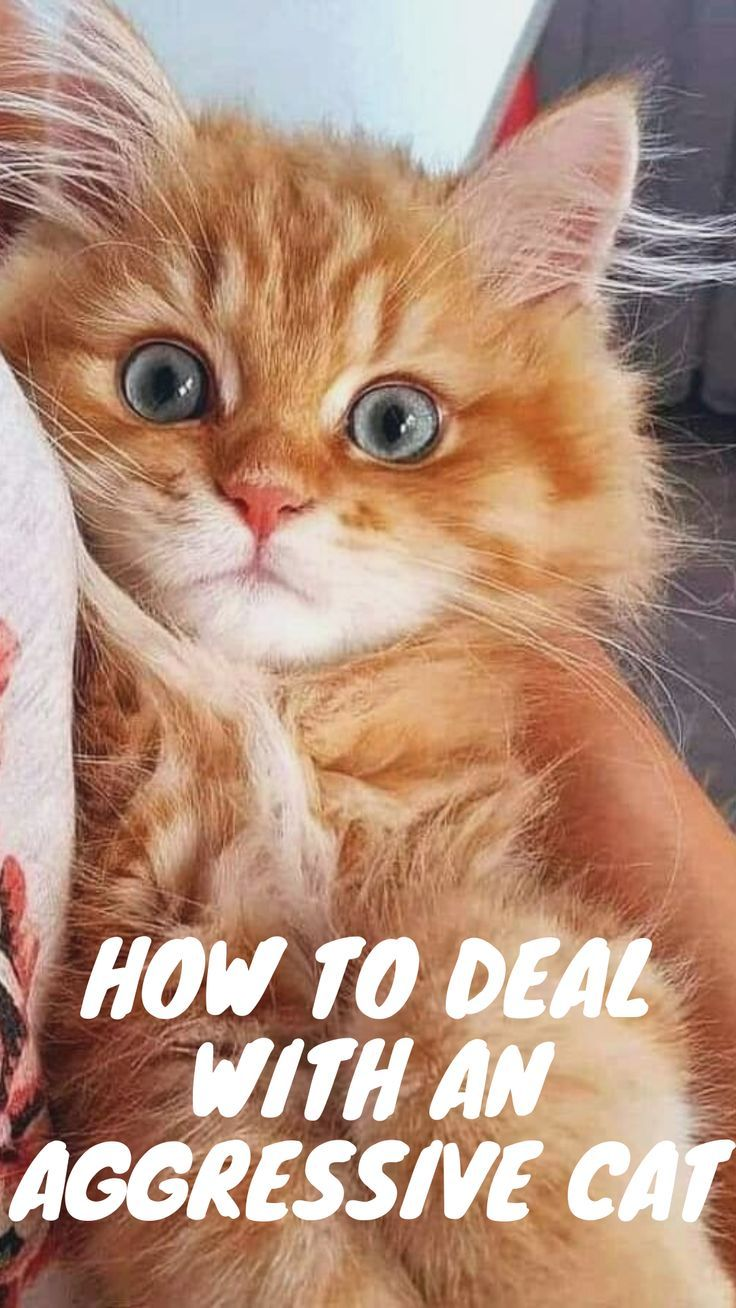 5 Tips to Calm an Aggressive Cat in 2020 (With images