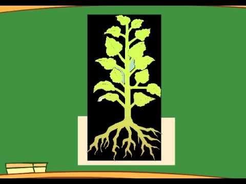 ¿Qué partes tiene una planta? ¿Qué es la fotosintesis? - Aula365 - YouTube