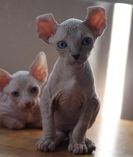 1000 Images About Sphynx And Other Cats I Like On