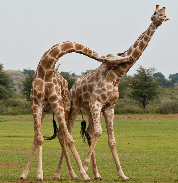 It's more dramatic in video ... and kind of painful to watch ... giraffes in battle