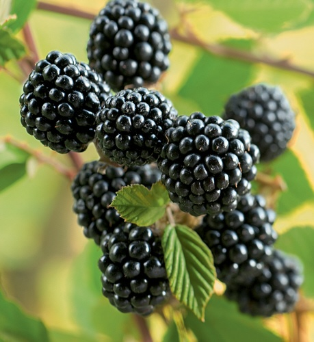 Irresistible, crunchy and bursting with juice, Wild Blackberries have a natural charm!