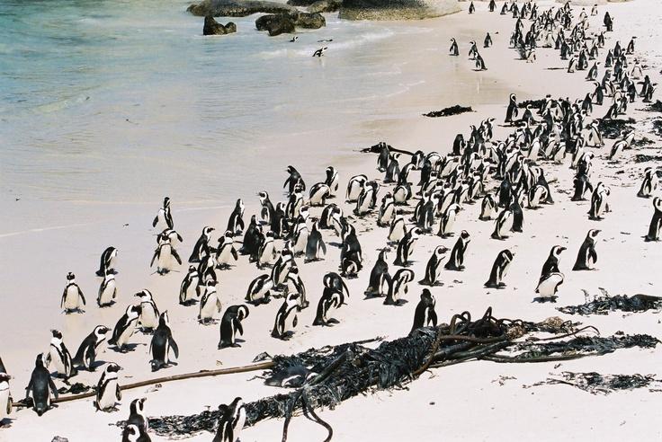 Cape Town penguins!!!