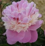 """SORBET PEONY  A dbl w/ alternating layers of soft pink and creamy white petals. Blooms measuring 5 -7"""" across are fragrant and add so much to the late Spring/Summer garden. Come Fall, the shrubs are amass of red leaves.  Florists love it as a cut flower. Peony Farm Gardens"""