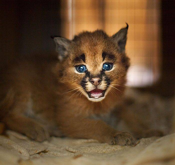 Meet the Caracals Do you love cats? If the answer is yes, you are going to fall in love with this cat species, Caracals, that are likely to be the cutest cat species ever! If the answer is no, these cats will change it and you'll start liking cats!...