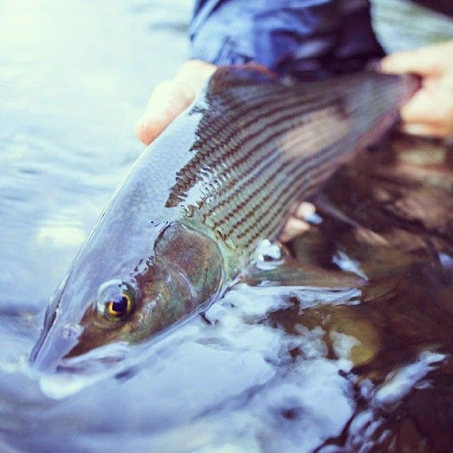 week #22. The grayling is just out of the spawning period and hungry. #vindelälven #swedishlapland #västerbotten