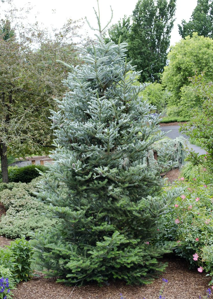 42 best images about small trees for small spaces on pinterest bluish gray problem solving - Trees for shade in small spaces concept ...