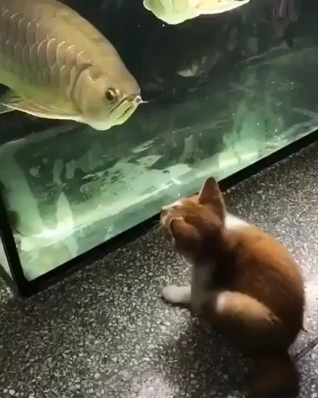 "Adorable Cat Video ""Little Cat VS Big Arowana"""