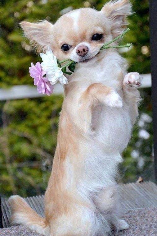 Looks like this little Chihuahua is ready to Tango. #puppied