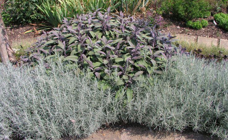 Blatt- und Blütenstrukturen spielen in naturnahen Pflanzungen eine große Rolle. Currykraut (Helichrysum) und Salbei (Salvia officinalis) geben gute Pflanzpartner ab