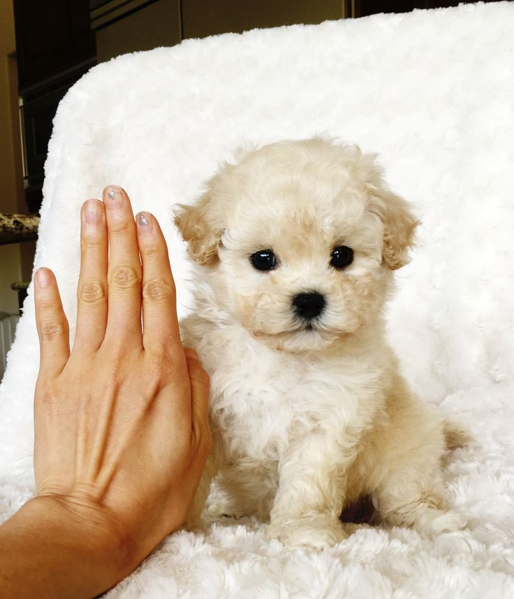 Image result for teacup maltipoo full grown