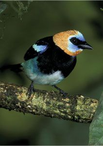 The Golden-hooded Tanager (Tangara larvata) is a medium-sized passerine bird. This tanager is a resident breeder from southern Mexico south to western Ecuador.