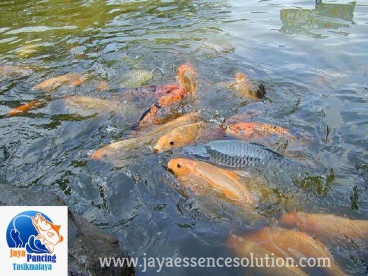 Aroma Essen Pengumpul Ikan Mas Terjitu dari Aquatic Essen merupakan produk unggulan Jaya Pancing Tasik yang sangat ampuh dan berkualitas guna untuk memudahkan dalam mengumpulkan ikan di lapak anda. CEK SELENGKAPNYA DISINI >>