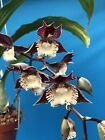 Catasetum Corinnes Frilly Spots First Bloom 4 Inch…