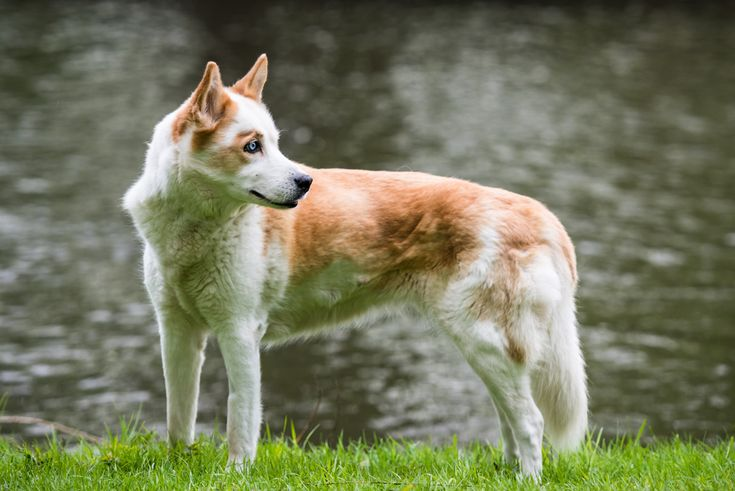Husky-Mischling am Wasser