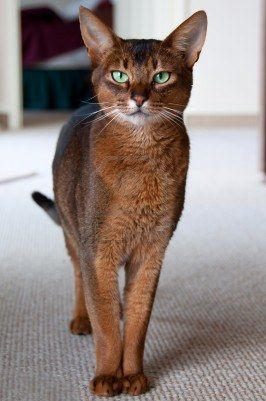 Abyssinian Cat - a friend of mine had a male Abby, named Simon, that was so strong it had pecs... also survived a fall from a 4th story apt window and after that, whenever he didn't want to be in side...he JUMPED from the 4th floor... amazing breed, really  sb