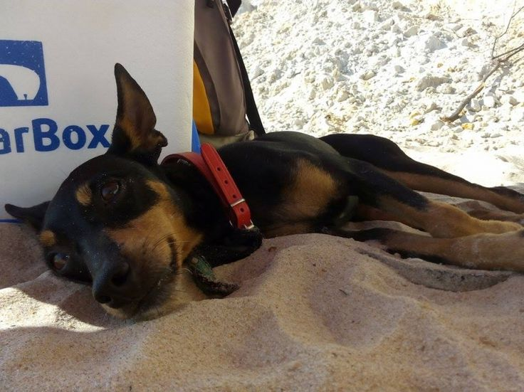 Adopta a Sira ( Pinscher miniatura ) - #adopta #perros