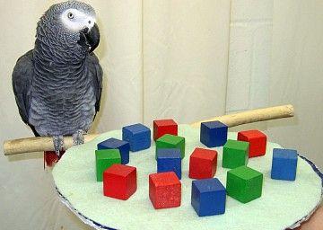 Afrikaanse grijze papegaai begrijpt het getal nul