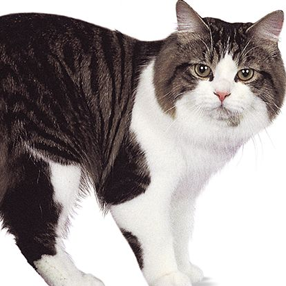 Cymric Cat - http://catbreedsinformation.com/cymric-cat/ For people that are looking for a medium sized, short coated cat breed, this is the cat for them. The Cymric Cat is a popular cat breed originally from Canada, Isle Of Man.Some people may refer to this cat breed as a  Manx Longhair, Longhair Manx, Semi-longhair Manx Variant, and Ong-haired Manx because some cats are known by different names.The Cymric Cats are said to have quite the personality. Their owners have said