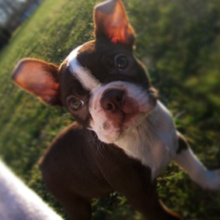 My baby Boston terrier Sophie!