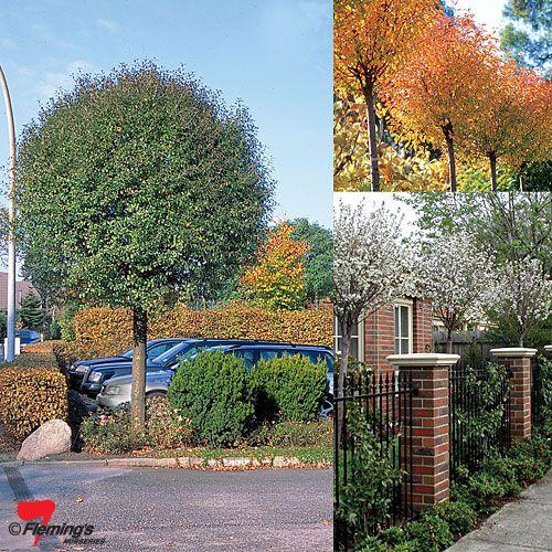 For the entrance - Prunus fructicosa Globosa, lovely in every season!