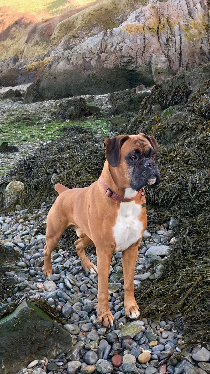 Dog Training 101 How To Train Your Dog Boxer Dogs Boxer