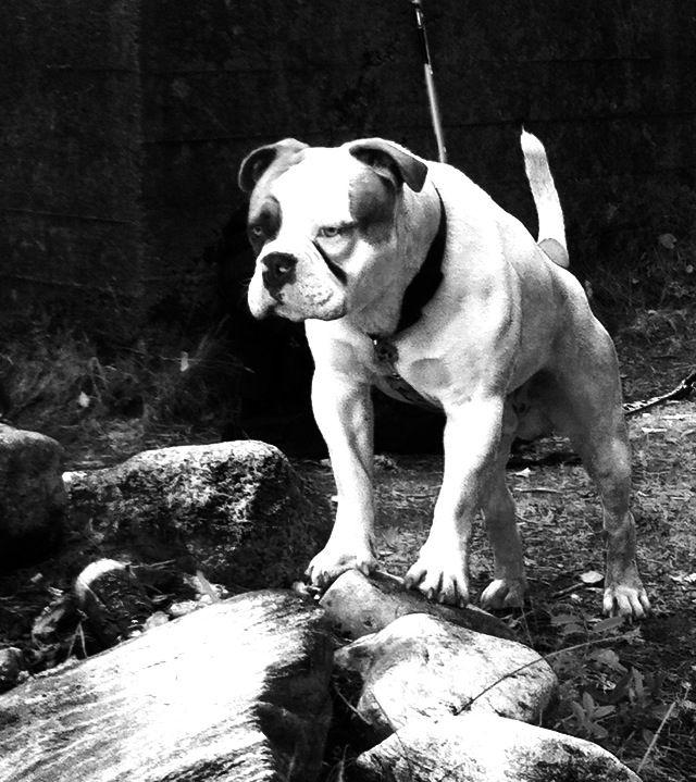 Olaf min dorset old tyme bulldogge