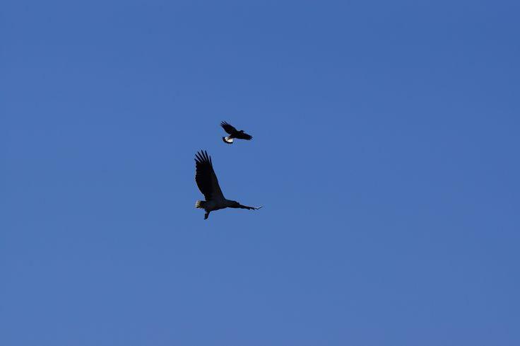Magpie and Sea eagle