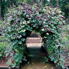 15+ Hyacinth Bean Red Leaved Vine Seeds , Under The Sun Seeds