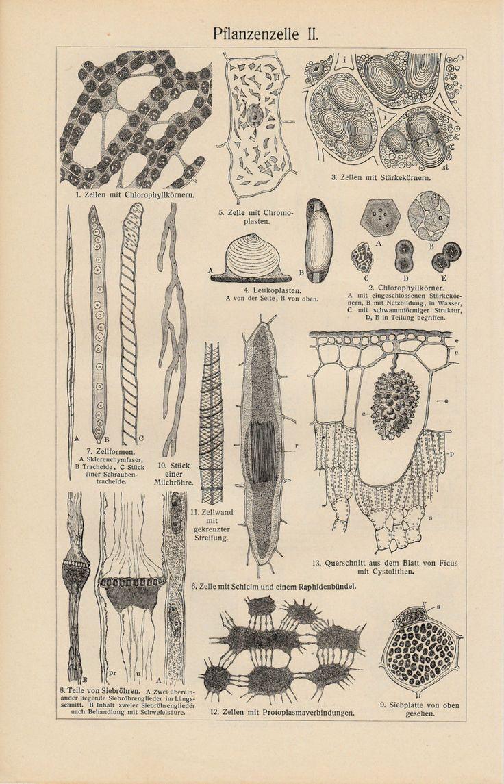 1898 Original Antique Lithograph Print Meyers Plant Cell Pflanzenzelle КЛЕТКА | eBay