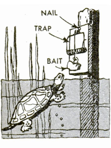 """Rattraps Murder Turtles """"Spring-type rattraps are an effective means of disposing of turtles which menace game fish in a pond or lake."""" An illustration shows a turtle about to bite a chicken head in a trap mounted to a post set in shallow water. Sorry, turtles. Our apologies to the chickens too. — June 1948   - PopularMechanics.com"""
