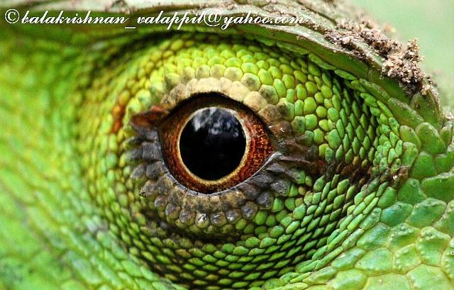 green calotes