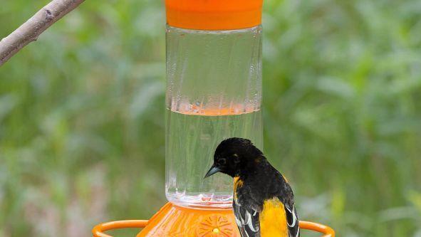Oriole Nectar Recipe Food Com Recipe Nectar Recipe Oriole Food Recipe Orioles