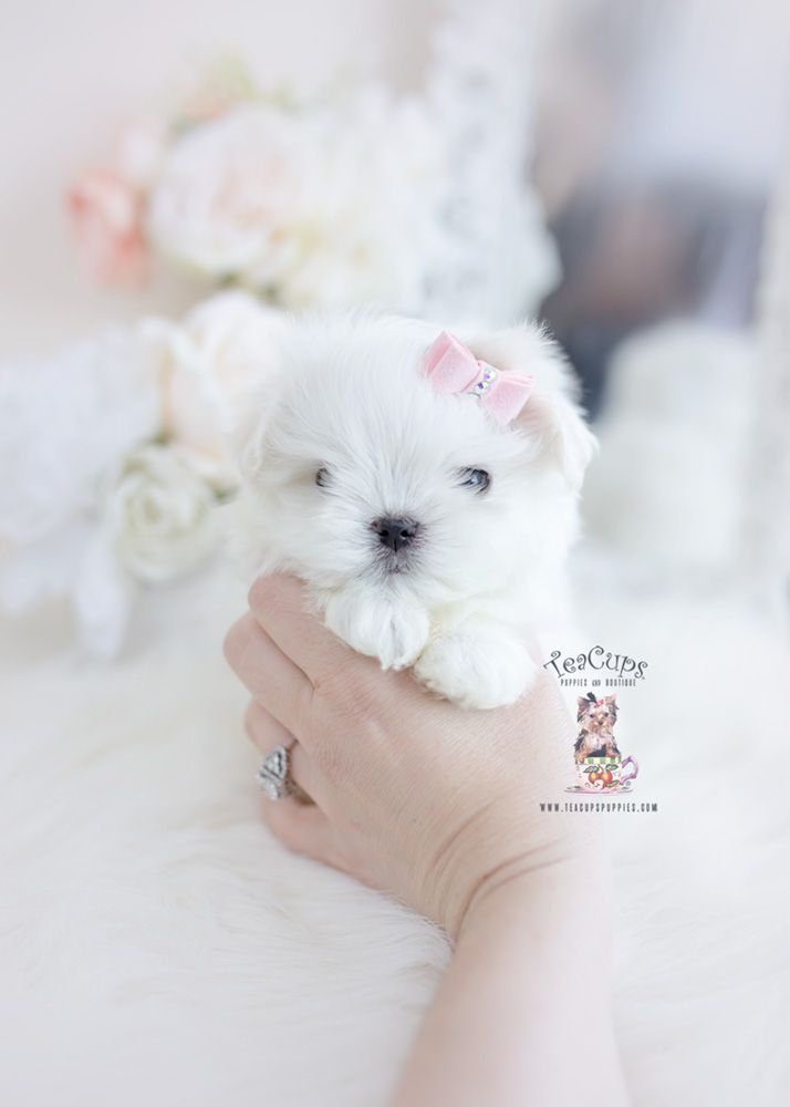 Tiny Maltese Puppy For Sale Teacup Puppies 115 A