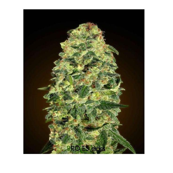 Auto California Kush es una variedad autofloreciente de 00seeds.