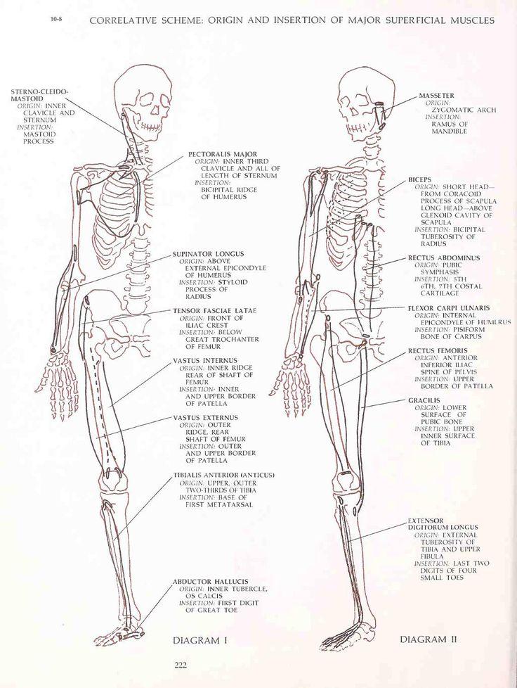 Groß Bicipital Nut Anatomie Galerie - Anatomie Von Menschlichen ...