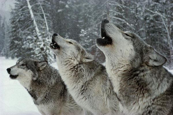 1.The grey wolf, also known as the timber wolf, or western wolf, can be found being an absolute badass in the wilderness and remote areas of North America and