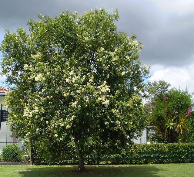 weeping lilly pilly tree