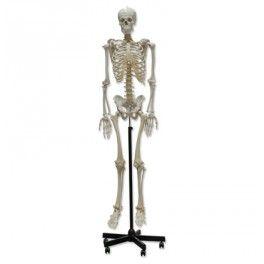 Comprar modelo de esqueleto humano en PVC - Quercuslab.es