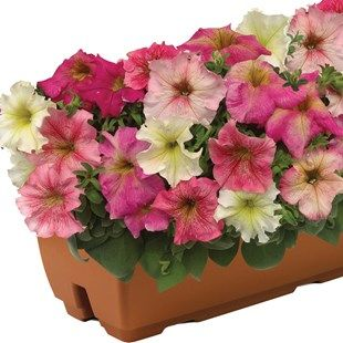 Hardy Petunia Autumn Leaves 2 Pre-Planted Troughs A very hardy variety of PetuniaEach trough comes complete with plants, compost, FREE Raingel and feed treatment. Care instructions included.This hardy Petunia will flower in the Autumn, die back when  http://www.MightGet.com/january-2017-11/hardy-petunia-autumn-leaves-2-pre-planted-troughs.asp