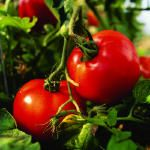 How to grow vegetables:  Roses Hip, Edible Gardens, Growing Vegetables, Perfect Tomatoes,  Rosehip, Plants A Gardens, Sunsets Magazines, Growing Tomatoes, Summer Salad